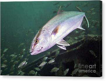 A Greater Amberjack Swimming Canvas Print by Michael Wood