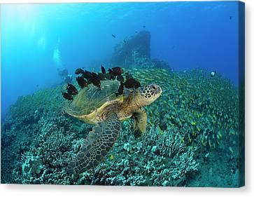 A Green Sea Turtlec  Chelonia Mydas Canvas Print