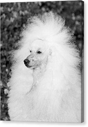 A Groomed Standard Poodle Canvas Print by Underwood Archives