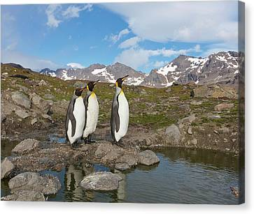 A Group Of Penguins Standing Together Canvas Print by Hugh Rose