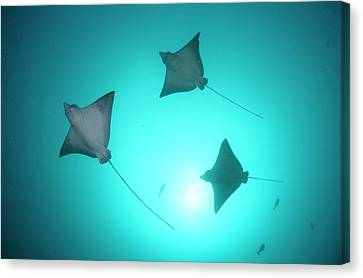A Group Of Spotted Eagle Rays Canvas Print by Scubazoo