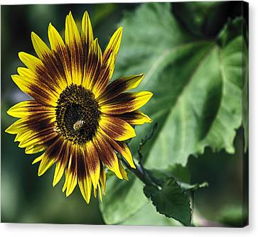 A Growing Sunflower Canvas Print by Gary Neiss