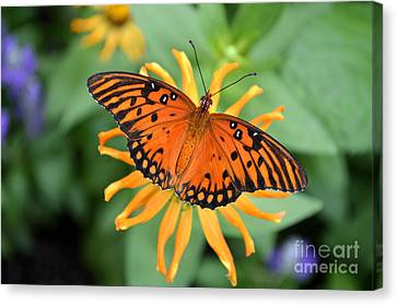 A Gulf Fritillary Butterfly On A Yellow Daisy Canvas Print