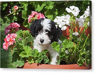 A Havanese Puppy In A Flower Pot Canvas Print by Zandria Muench Beraldo