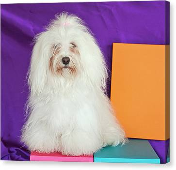 A Havanese Sitting In Front Of Colorful Canvas Print by Zandria Muench Beraldo