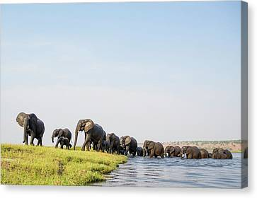A Herd Of African Elephants Canvas Print