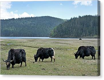 Yak Canvas Print - A Herd Of Yaks In Potatso National Park by Tony Camacho