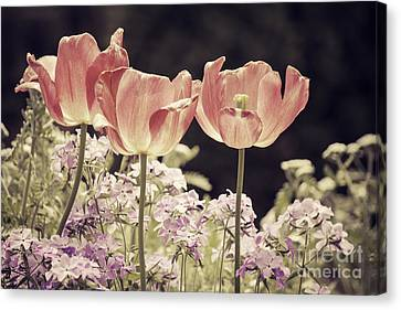 A Hint Of Blush Canvas Print by Emily Kay