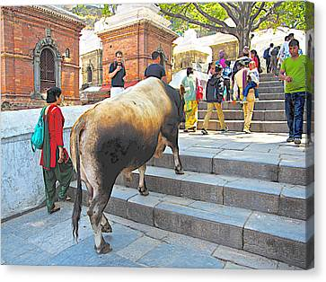 A Holy Cow Climbing Steps From Bagmati River In Kathmandu-nepal  Canvas Print by Ruth Hager