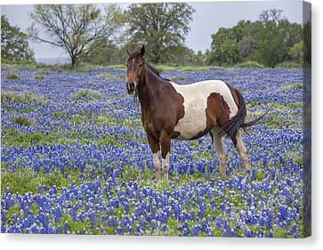 A Horse In Texas Bluebonnets In The Hill Country 2 Canvas Print by Rob Greebon