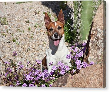 A Jack Russell Terrier Sitting Canvas Print by Zandria Muench Beraldo