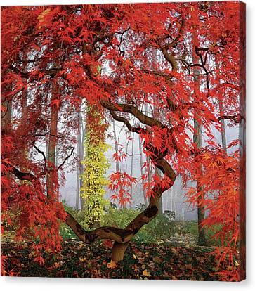 Red Leaf Canvas Print - A Japanese Maple Tree by Richard Felber
