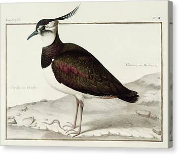 A Lapwing Canvas Print by Nicolas Robert