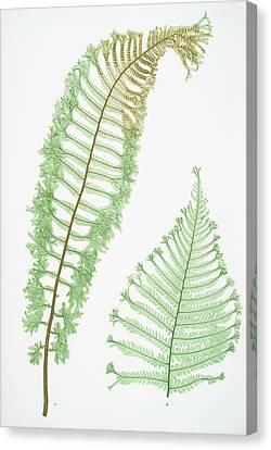 A. Lastrea Filix-mas Cristata. B. L. Filix-mas Polydactyla Canvas Print by Artokoloro