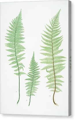 A. Lastrea Filix-mas Pumila. B. L. Filix-mas Paleacea Canvas Print by Artokoloro