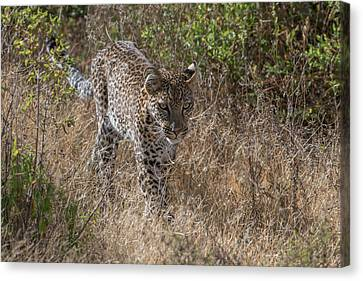 A Leopard, Panthera Pardus, Walking Canvas Print by Tom Murphy