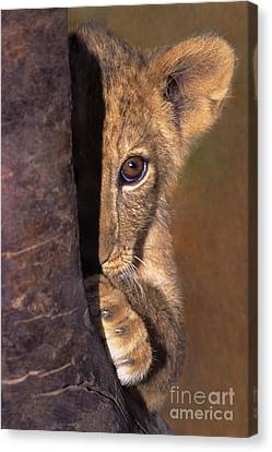 A Lion Cub Plays Hide And Seek Wildlife Rescue Canvas Print by Dave Welling