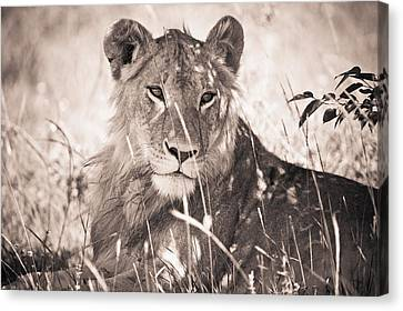 A Lioness Lays In The Shade Kenya Canvas Print by David DuChemin