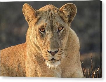 A Lioness Looks At The Camera Canvas Print