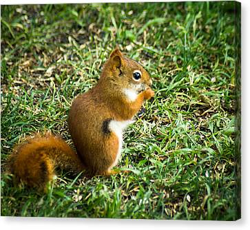 Bushy Tail Canvas Print - A Little Squirrelly by Bill Pevlor