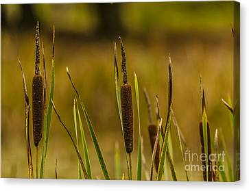 A Load Of Bulrushes. Canvas Print