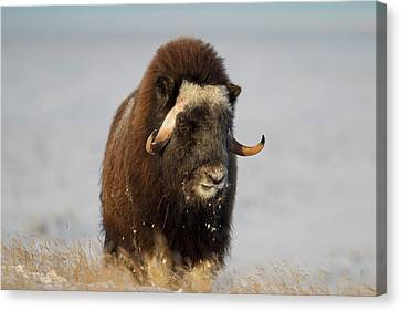 A Lone Musk Ox Bull Browses On Sedges Canvas Print by Hugh Rose