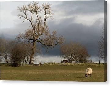 A Lone Sheep Grazes In A Field Canvas Print