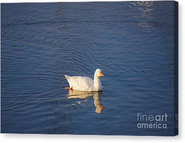 A Lonely Duck Canvas Print by Gloria Pasko