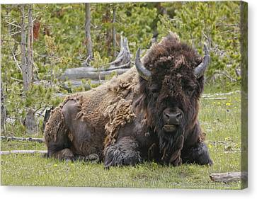 A Lot Of Bull Canvas Print by Charles Warren
