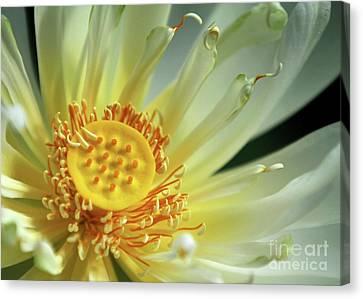 A Lotus Close Up Canvas Print