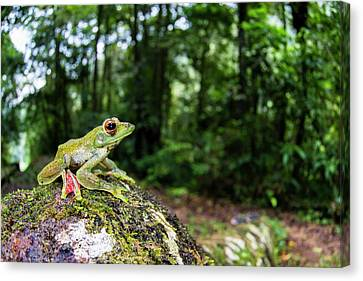 A Malayan Flying Frog Canvas Print