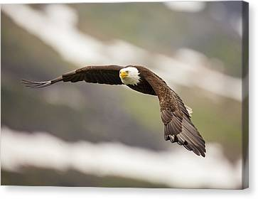 A Mature Bald Eagle In Flight Canvas Print by Tim Grams