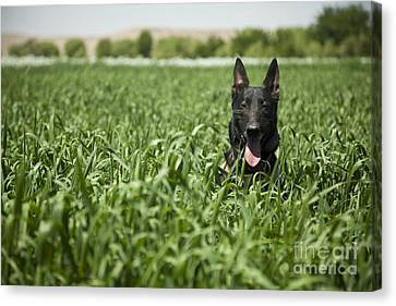 A Military Working Dog Sits In A Field Canvas Print by Stocktrek Images