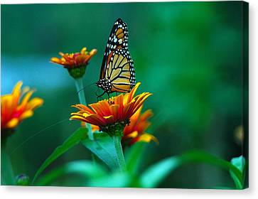 Canvas Print featuring the photograph A Monarch by Raymond Salani III