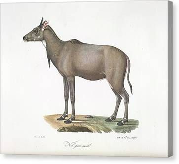 A Nylgau Antelope Canvas Print by British Library