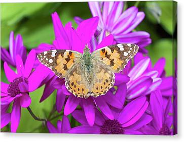 A Painted Lady Butterfly Canvas Print by Ashley Cooper