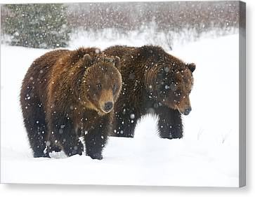 A Pair Of Adult Brown Bears Walk Canvas Print by Doug Lindstrand