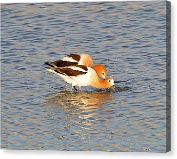 Canvas Print featuring the photograph A Pair Of American Avocets by Lula Adams