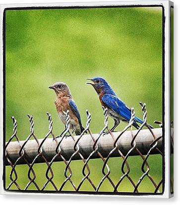 Nesting Bluebirds Canvas Print by Heidi Hermes