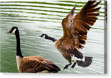 A Pair Of Canada Geese Landing On Rockland Lake Canvas Print by Jerry Cowart