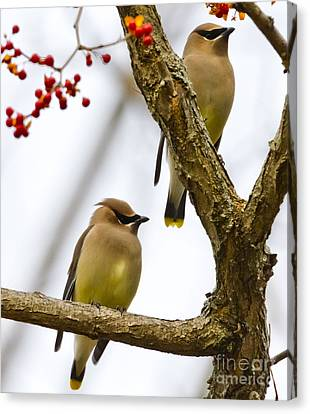 A Pair Of Cedar Waxwings Canvas Print by Ricky L Jones