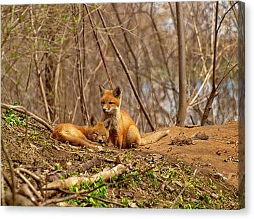 Fox Kit Canvas Print - A Pair Of Cute Kit Foxes 1 by Thomas Young