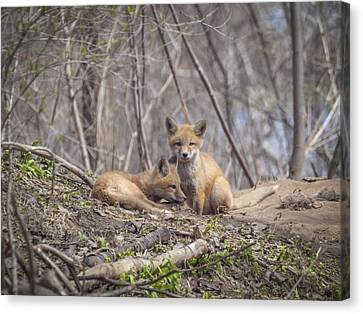 A Pair Of Cute Kit Foxes 2 Canvas Print by Thomas Young