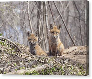 Fox Kit Canvas Print - A Pair Of Cute Kit Foxes 3 by Thomas Young