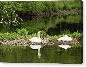A Pair Of Mute Swans Canvas Print by Ashley Cooper