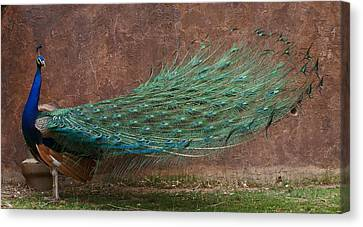 A Peacock Canvas Print
