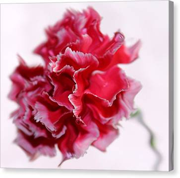 Pink Carnation Canvas Print - A Peculiar Love by Krissy Katsimbras