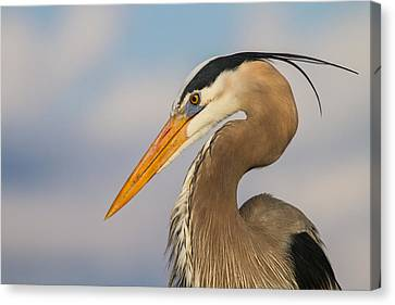 A Pensive Blue Heron Canvas Print by Andres Leon