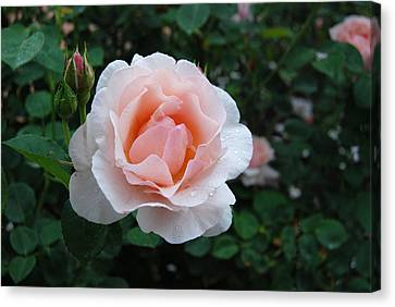 A Pink Rose For You Canvas Print by Eva Kaufman