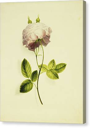 A Pink Rose Canvas Print by James Holland